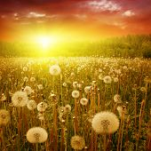 Summer landscape with dandelion field at sunset.