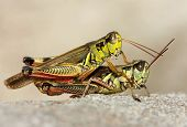 A close up of the two grasshoppers.