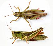 Top and side view of grasshopper