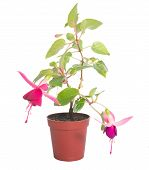 Fuchsia Houseplants In Flower Pot, Isolated On White Background