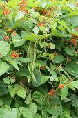 Runner Bean Plants.