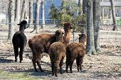 Alpacas From Behind - Vicugna pacos