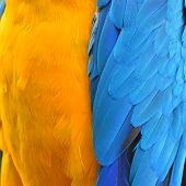 foto of harlequin  - Colorful feathers Harlequin Macaw feathers background texture - JPG
