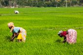 TAMIL NADU, INDIA - FEBRUARY 13, 2014: Unidentified Indian women harvests rice in the paddy field. Rice is the most widely consumed staple food for a large part of the world's human population