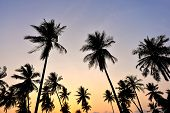 Silhouette Of Coconut Tree