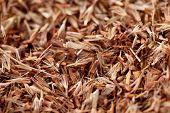 Palmarosa grass seeds (Cymbopogon martinii)