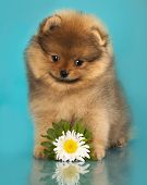 Puppy of breed a Pomeranian and flowers