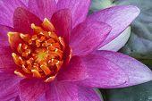 Beautiful pink&yellow lotus flower close-up