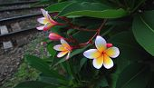 Closeup Plumeria. Beautiful Pink Inflorescence.