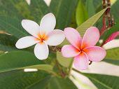 White And Pink Frangipani Flower