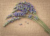 Lavender Flowers Over Burlap Background