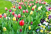 Assorted Colorful Tulips On Flowerbed