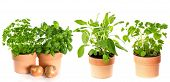 Kitchen Herbs Isolated On White Background