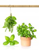 Leaves Of Basil, Hanging Bundle And Plant In Pot