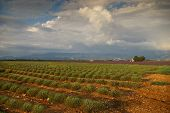 Southern France, Evening In Provence, Lavender Fields Sloping After The Storm