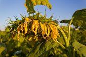 Field Of Yellow Sunflowers