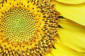 beautiful detail of a bright sunflower.