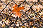 Yellow maple leaf trapped over the rusty fence in Autumn
