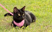Small black cat wearing pink harness in green grass