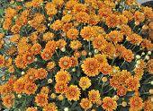 Vivid orange colored Mums