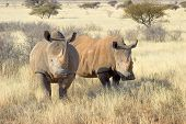picture of rhino  - Two Southern White Rhino in grass field surrounded by thorn bushes - JPG