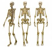 three human skeletons isolated on white background