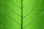 Background of Green Leaf cell structure - macro shot, natural texture