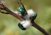 Green Rose Chafers Cetonia Aurata On A Stalk Of Dry Plant