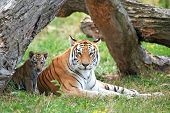 stock photo of tiger cub  - Bengal tiger resting with its cub in its habitat - JPG