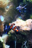 foto of clown fish  - nemo orange fish (clown fish) in aquarium