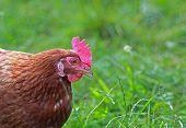 Free Range Hen In The Meadow