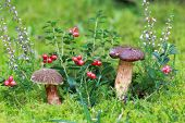 Bay Boletus, Heather And Lingonberries
