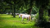 Lipizzaner Horses In The Meadow