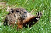image of marmot  - Give me five shows Groundhog  - JPG