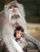 Monkey Feeds Her Cub. Animals - Mother And Child