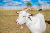 Funny Portrait Of A Smiling Goat