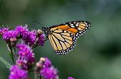 stock photo of monarch butterfly  - Monarch butterfly is a milkweed butterfly in the family Nymphalidae - JPG