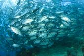 pic of bigeye  - School of Bigeye Trevally Fish - JPG