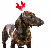 Dachshund in Santa costume on a white background close-up