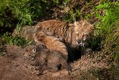 Red Fox Kit (vulpes Vulpes) Crawls About Outside Den