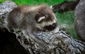 Baby Raccoon (procyon Lotor) Clings To Log