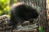 image of nocturnal animal  - Baby Porcupine  - JPG