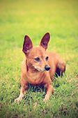 pic of miniature pinscher  - Vintage photo of Miniature pinscher in the park - JPG