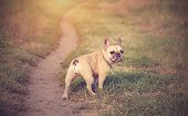 French Bulldog In The Green