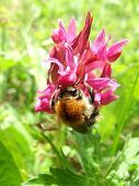 Bumblebee On Orchid