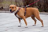 Staffordshire Terrier For A Walk