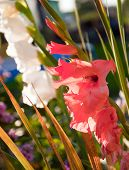 Coral Breeding Gladioli In The Summer In The Flowerbed