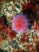Sea urchin Echinus