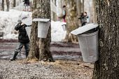 Kids Lookin Into The Maple Sap Buckets