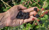 Left hand and Bunch of blackberries